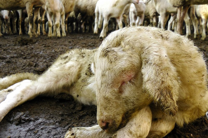 the undeniable suffering of farm animals