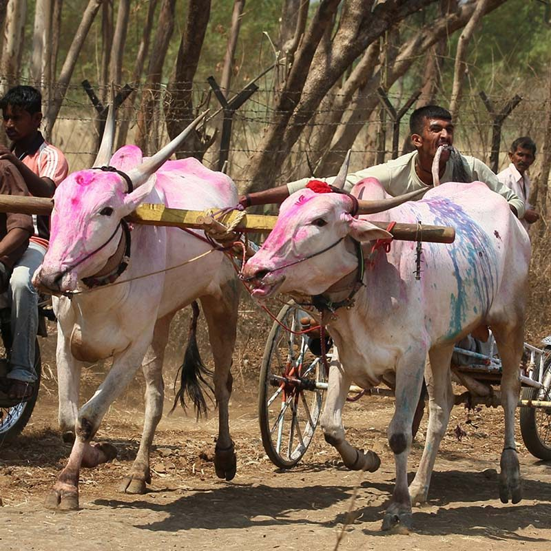 Bullock Cart Races