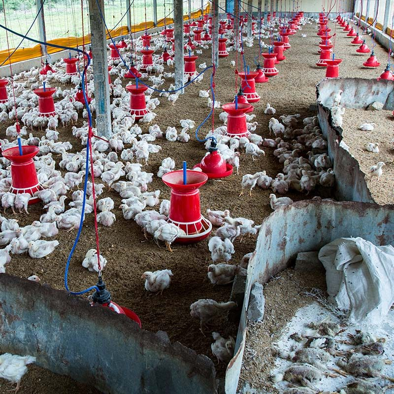 Chicken Factory Farms in India