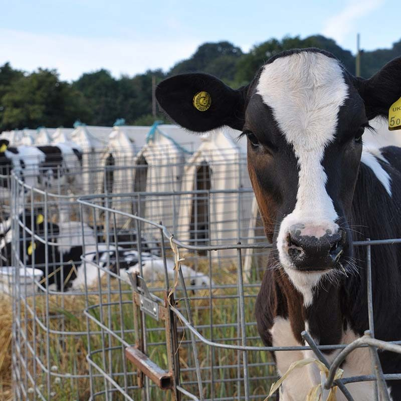Calves Suffering in Severe Confinement on Dairy Farm