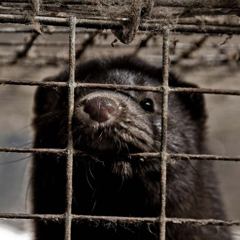 Second Mink Farm Investigation Reveals Animals Languishing in Pain