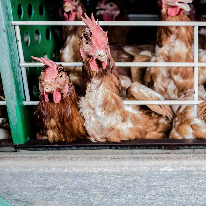 First-Ever Look Inside Brazil's Egg Industry