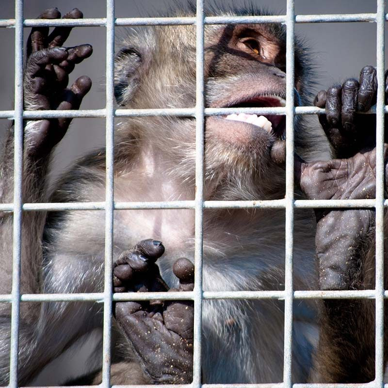 Monkeys Stolen from the Wild, Sold to Labs
