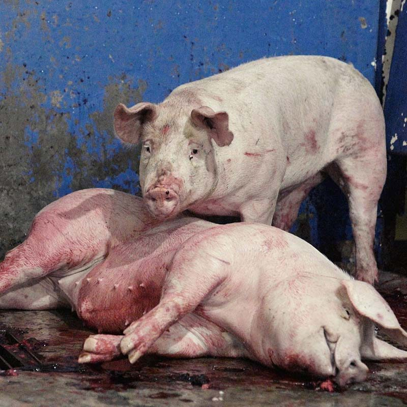 Jalisco Slaughterhouse Cruelty Exposed