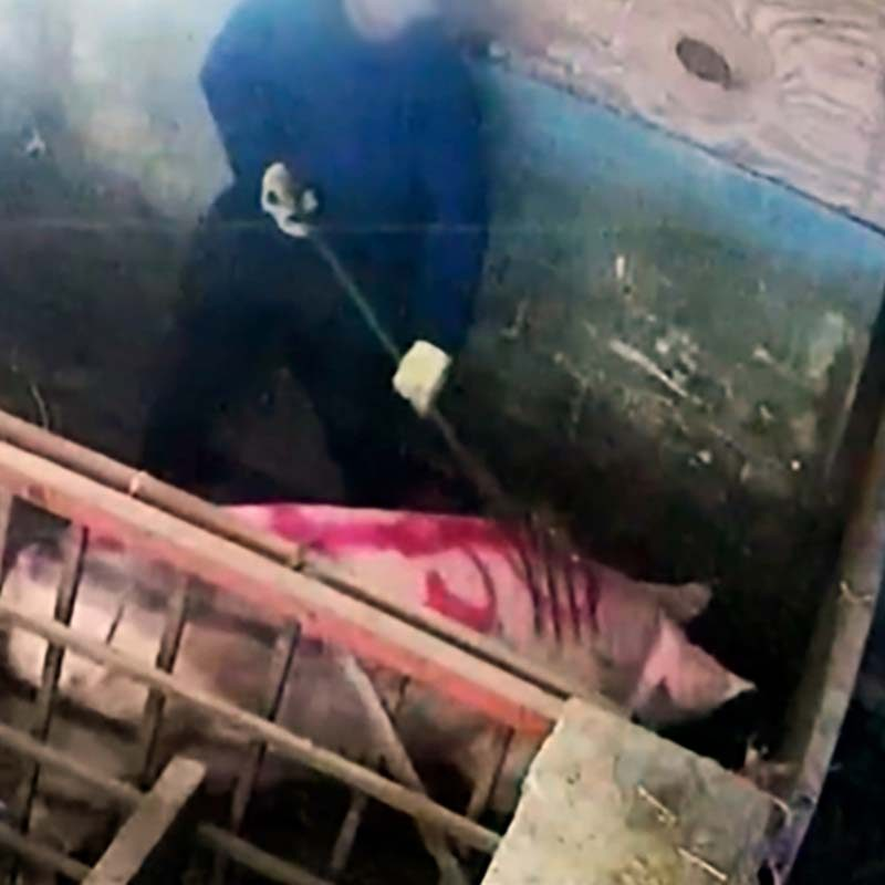 Sadistic Abuse Exposed on UK's Largest Pig Farm