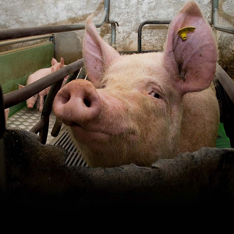 Investigations into 172 Pig Farms
