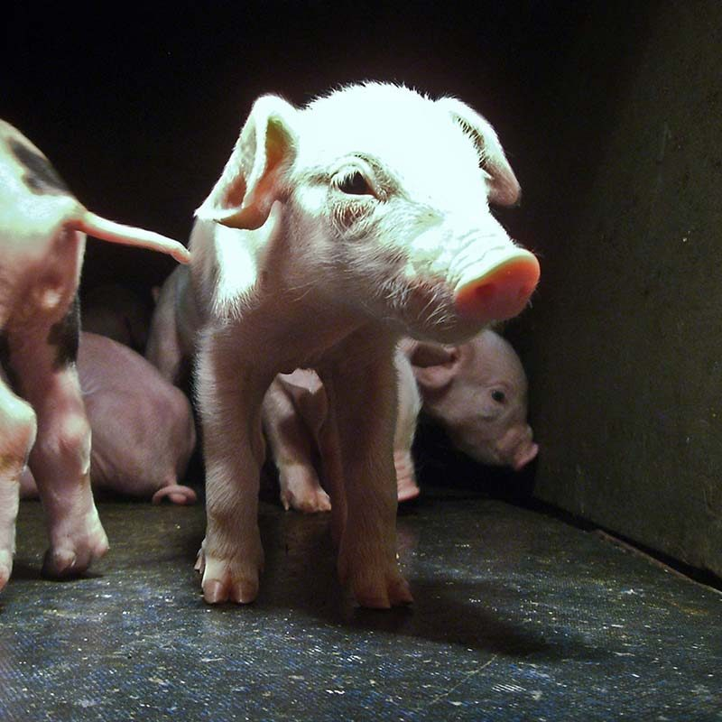 """Farmed With Care"": Investigation Shows Workers Beating Pigs on Certified Farm"