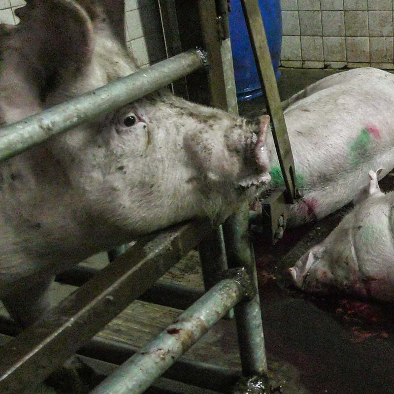 Horrible Scenes at Pig Slaughterhouses in Jalisco