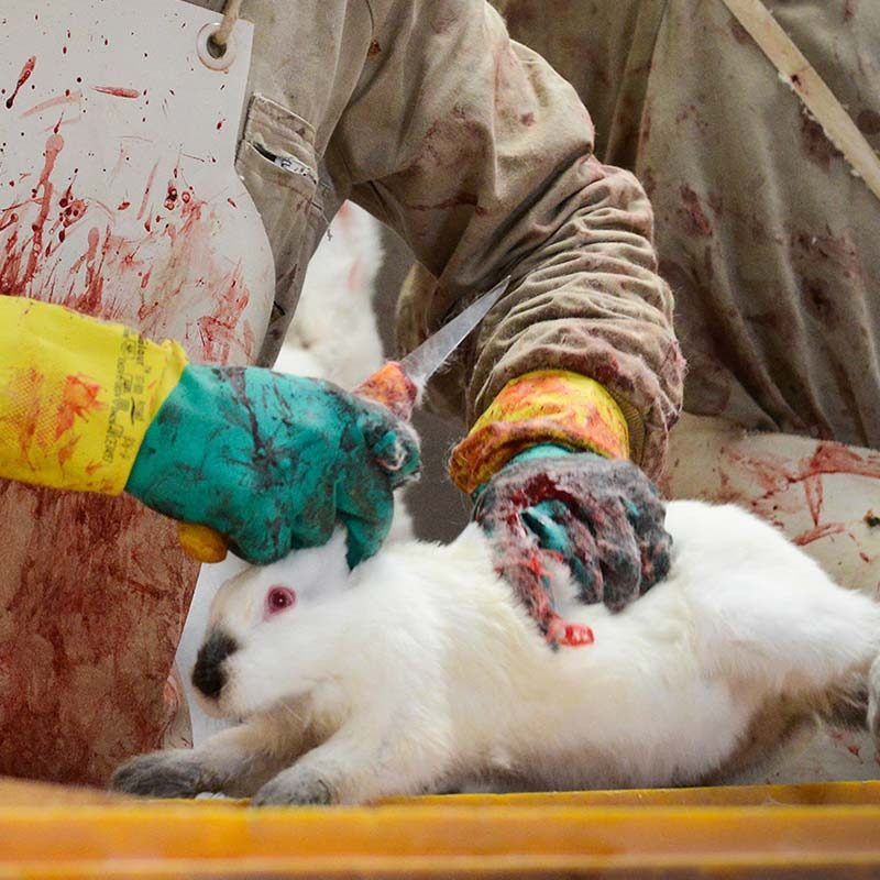 Rabbits Suffer in Italian Slaughterhouses