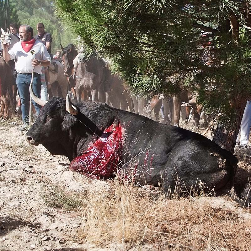 Afligido – Toro de La Vega
