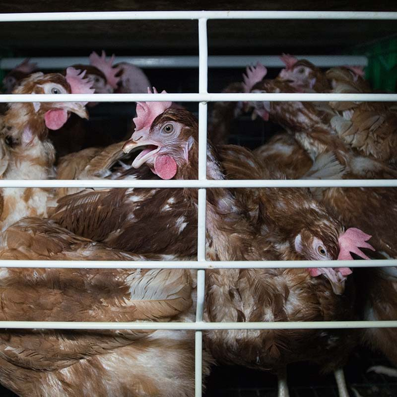 Chickens Suffer in Confinement on Spanish Egg Farms