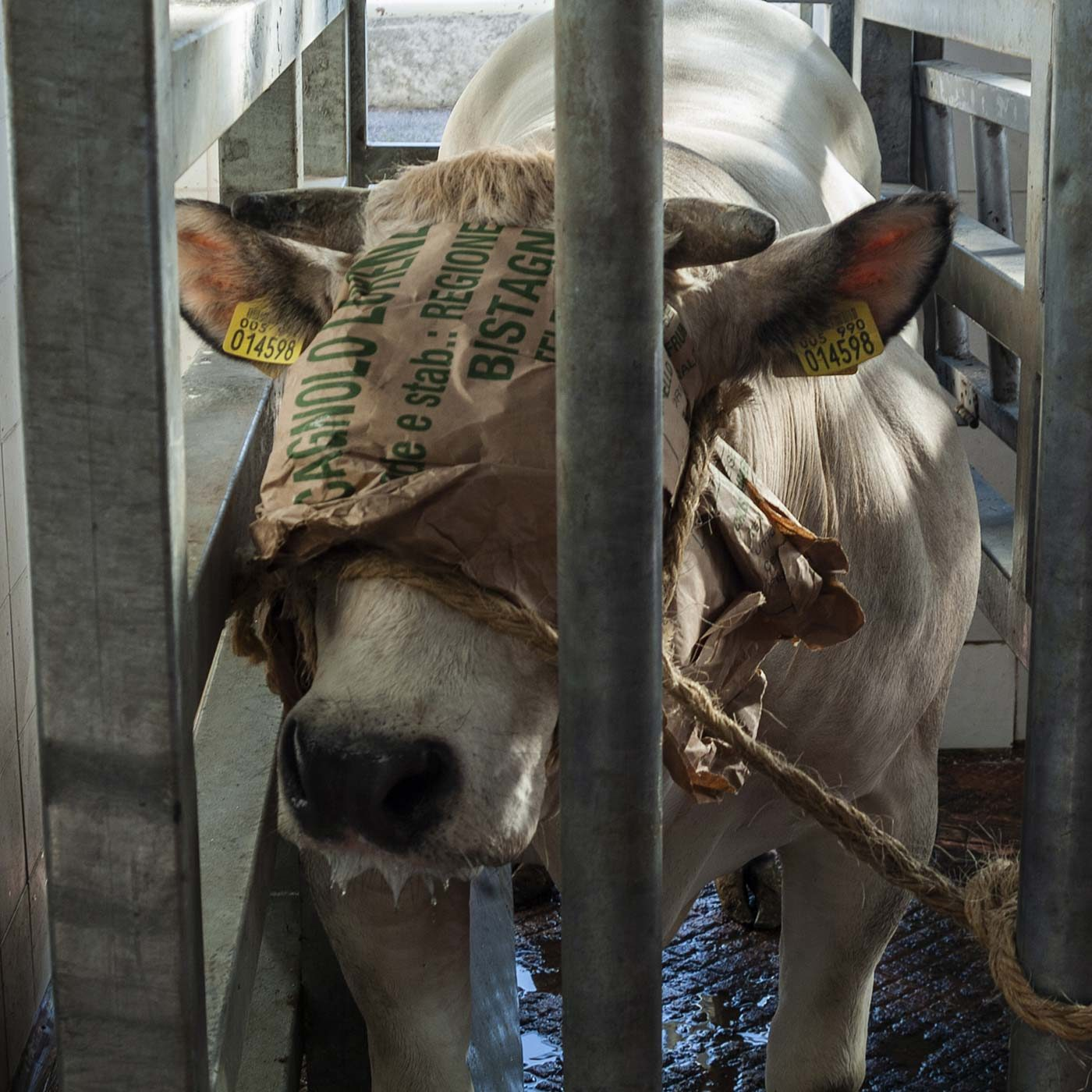 Cows Abused, Suffered Prolonged Deaths in Italian Slaughterhouse