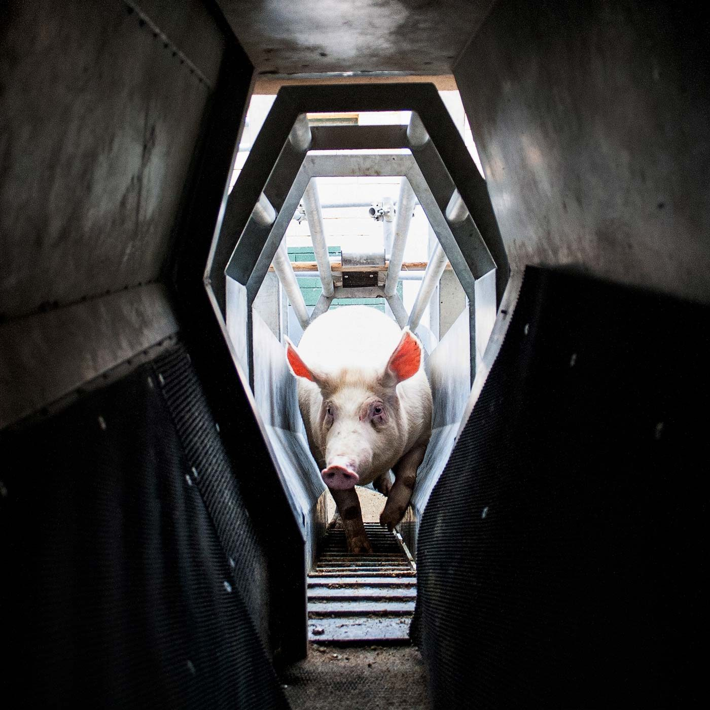 Suffering and Agony Inside Italian Pig Slaughterhouses