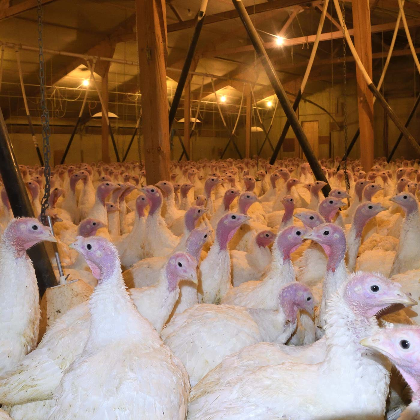 Turkeys Eaten Alive on Award-Winning Farm