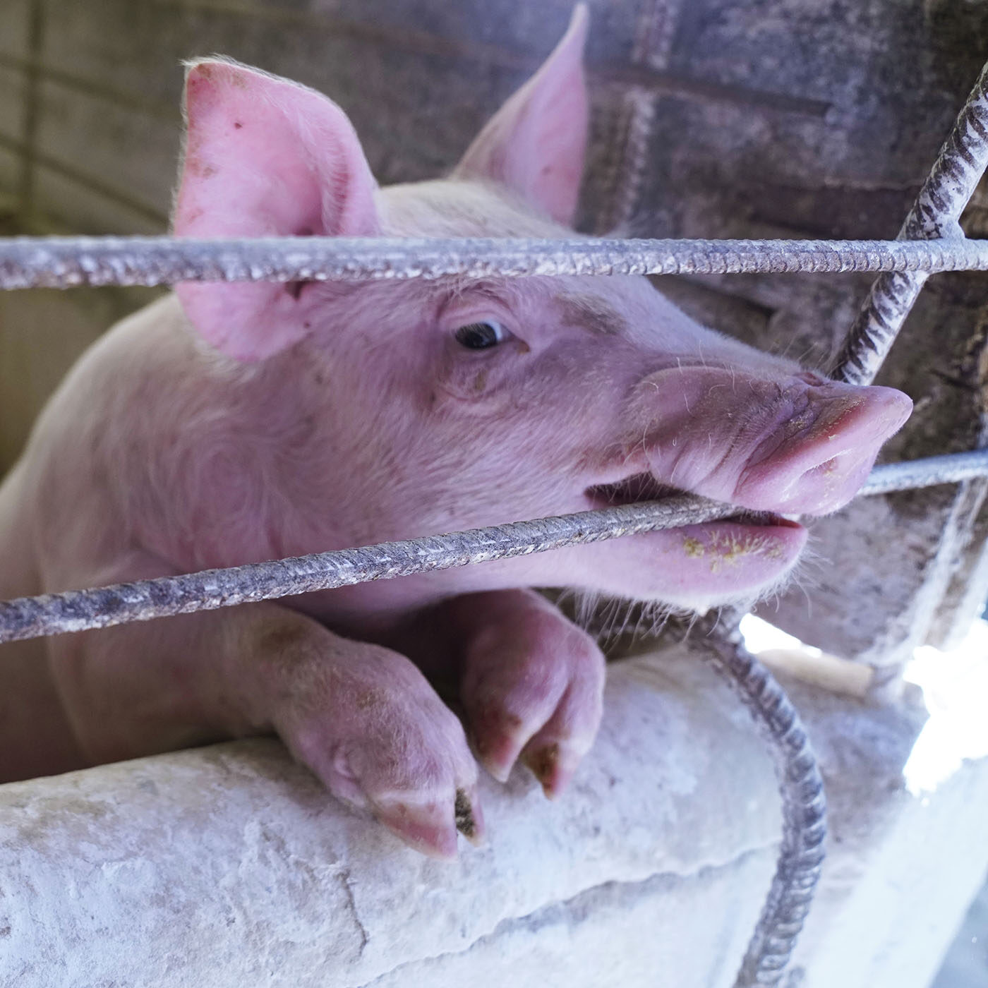 Cruelty Found on Brazilian Pig Farm