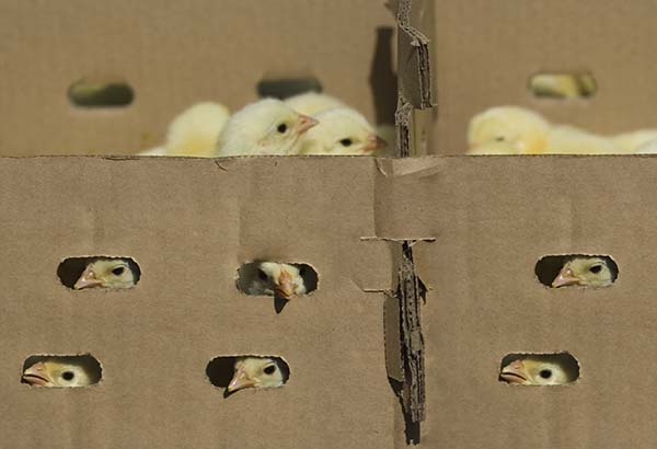 Farmers have reported thousands of. chicks dead on arrival after being shipped through the mail.