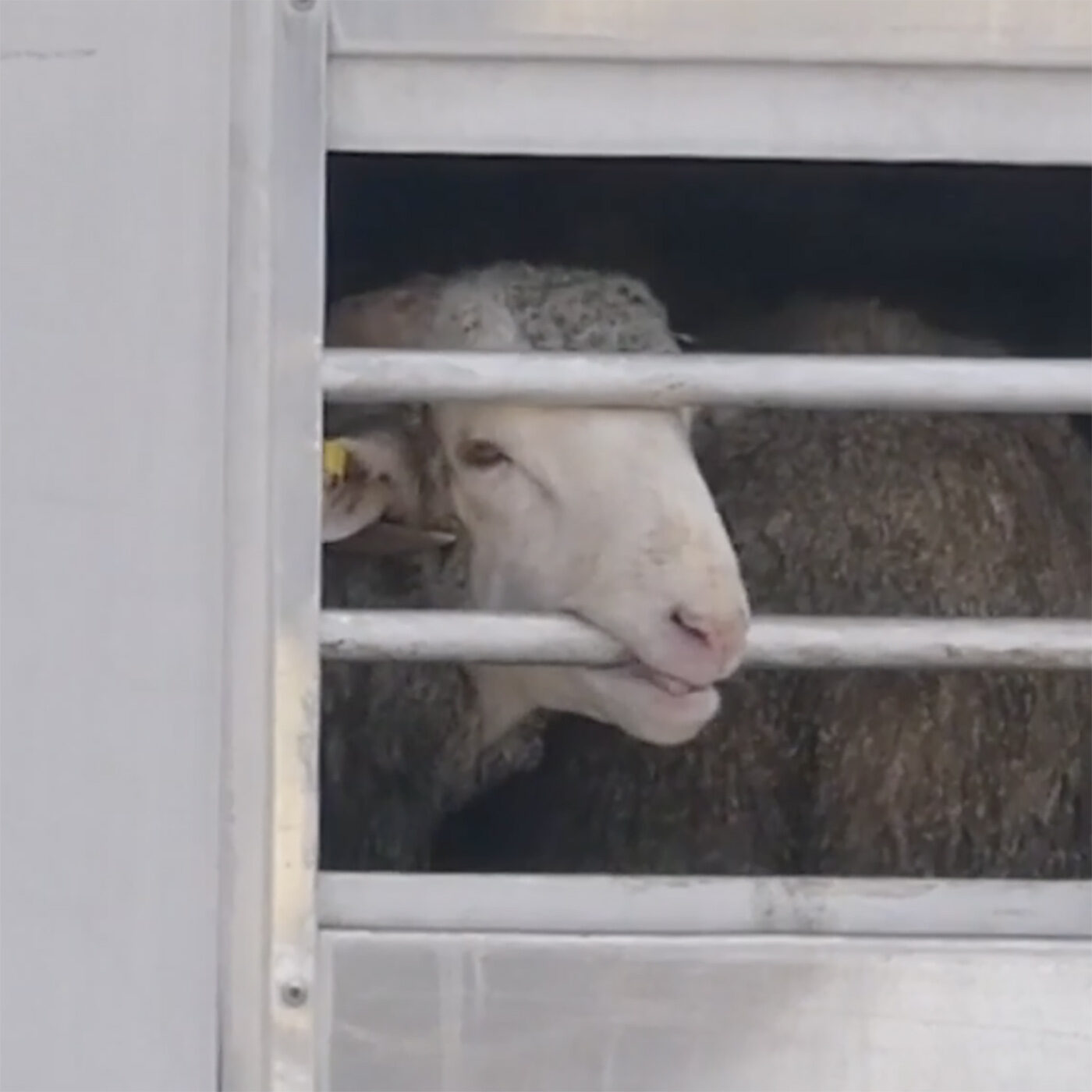 In Collaboration, Animal Equality and Others Expose Cruelty of Spanish Animal Export