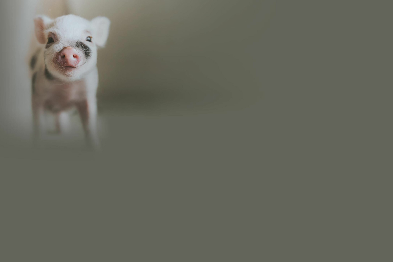happy piglet background image
