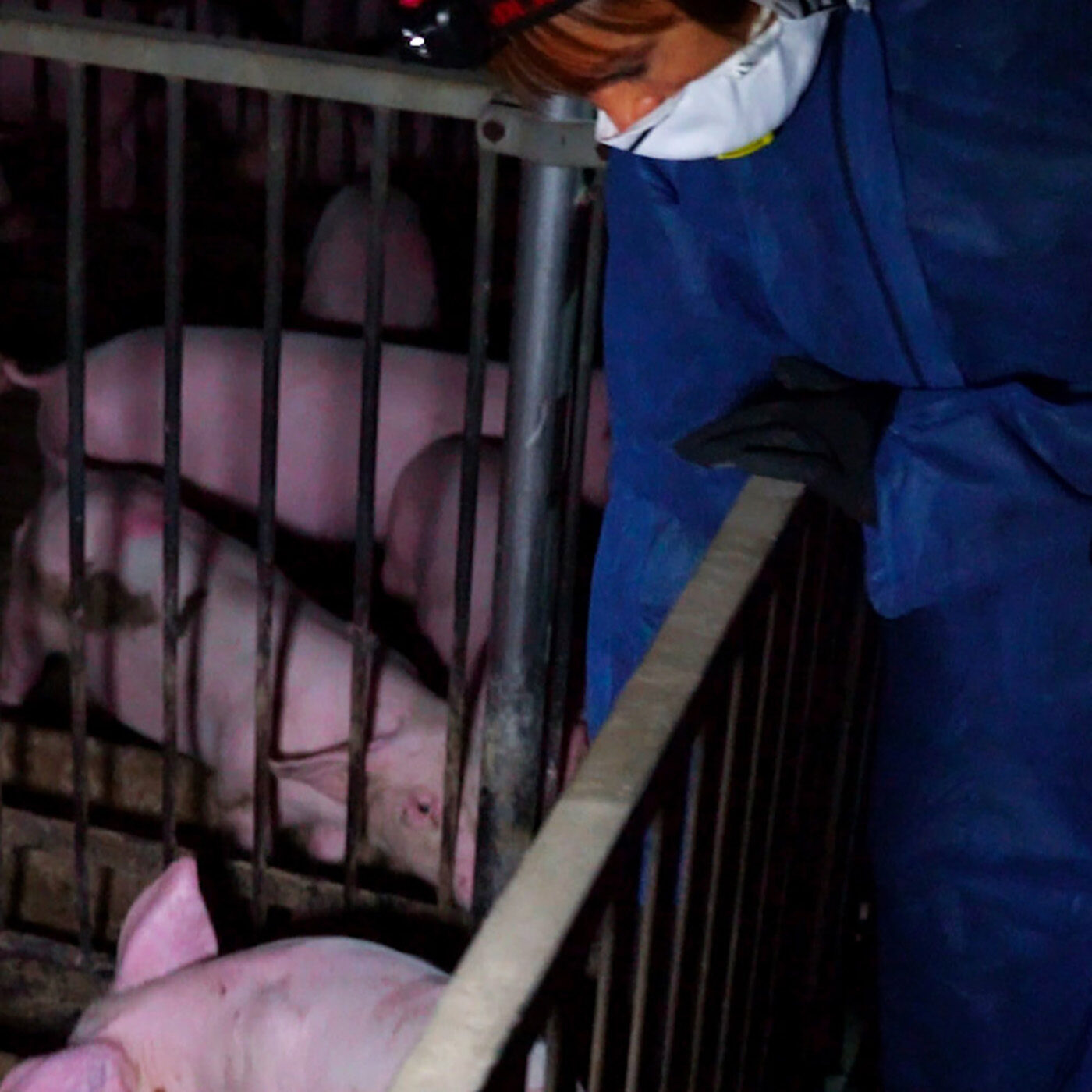 Mistreatment Found on Brescia Pig Farms