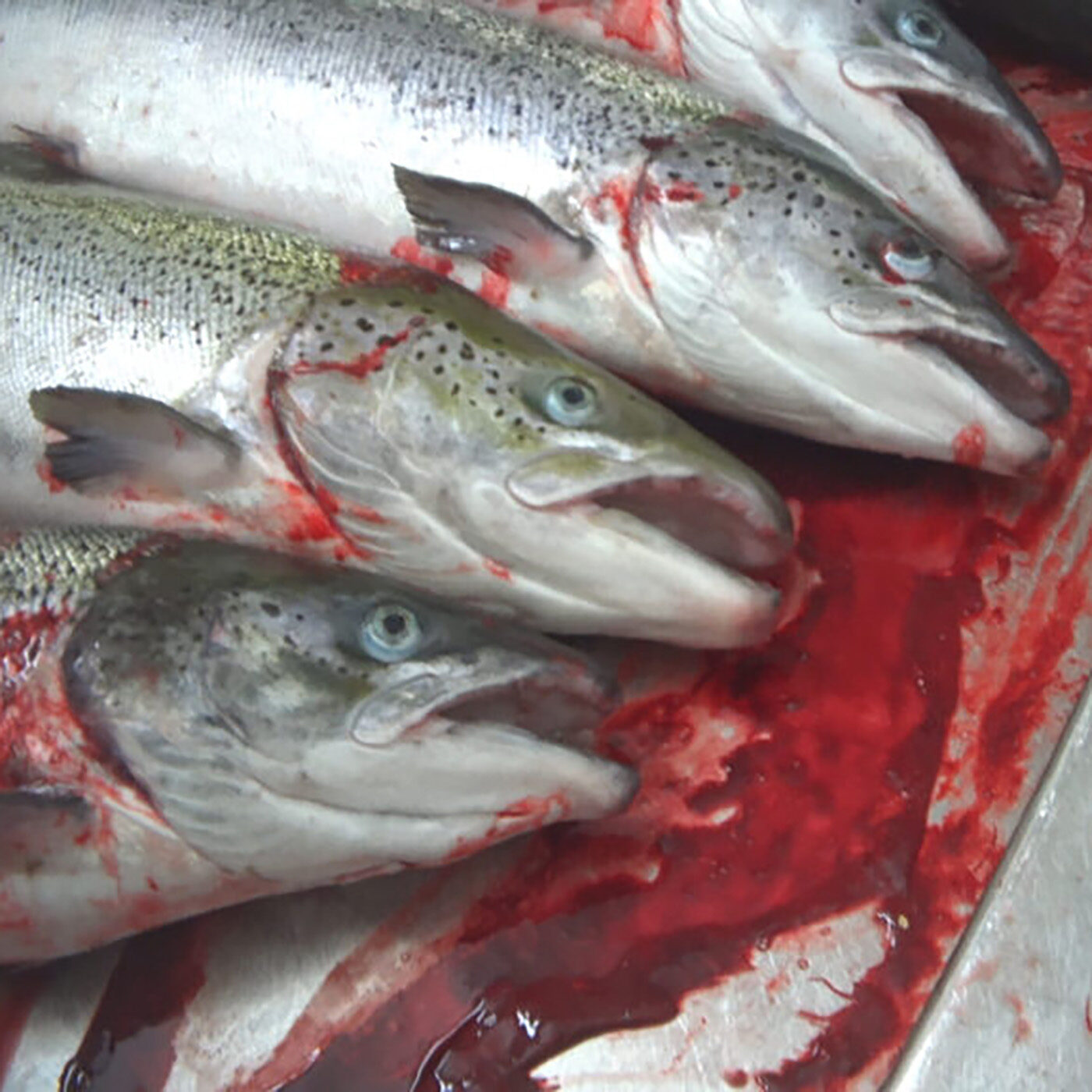 Scottish Salmon Killed While Conscious