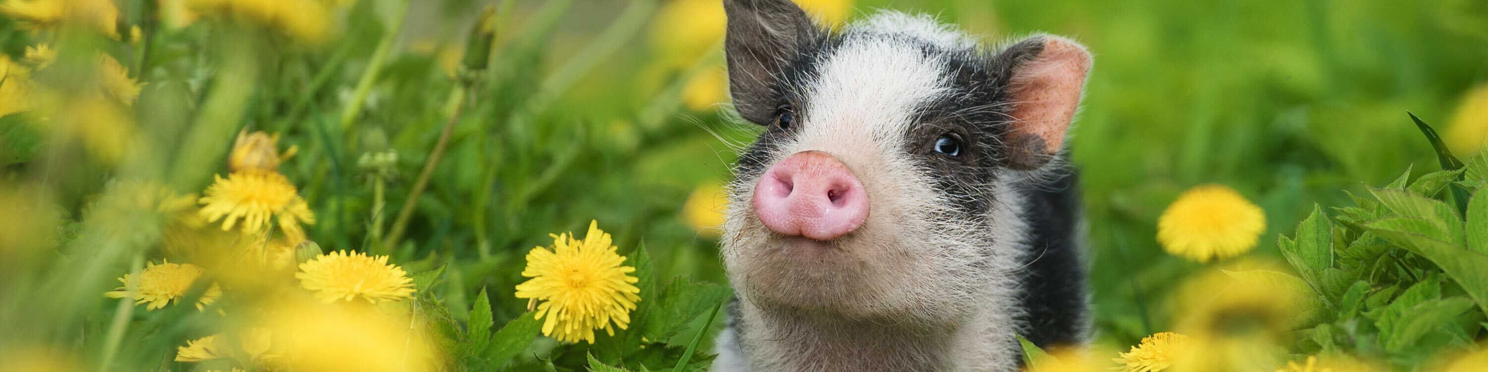 spotted pig in a field of dandelions