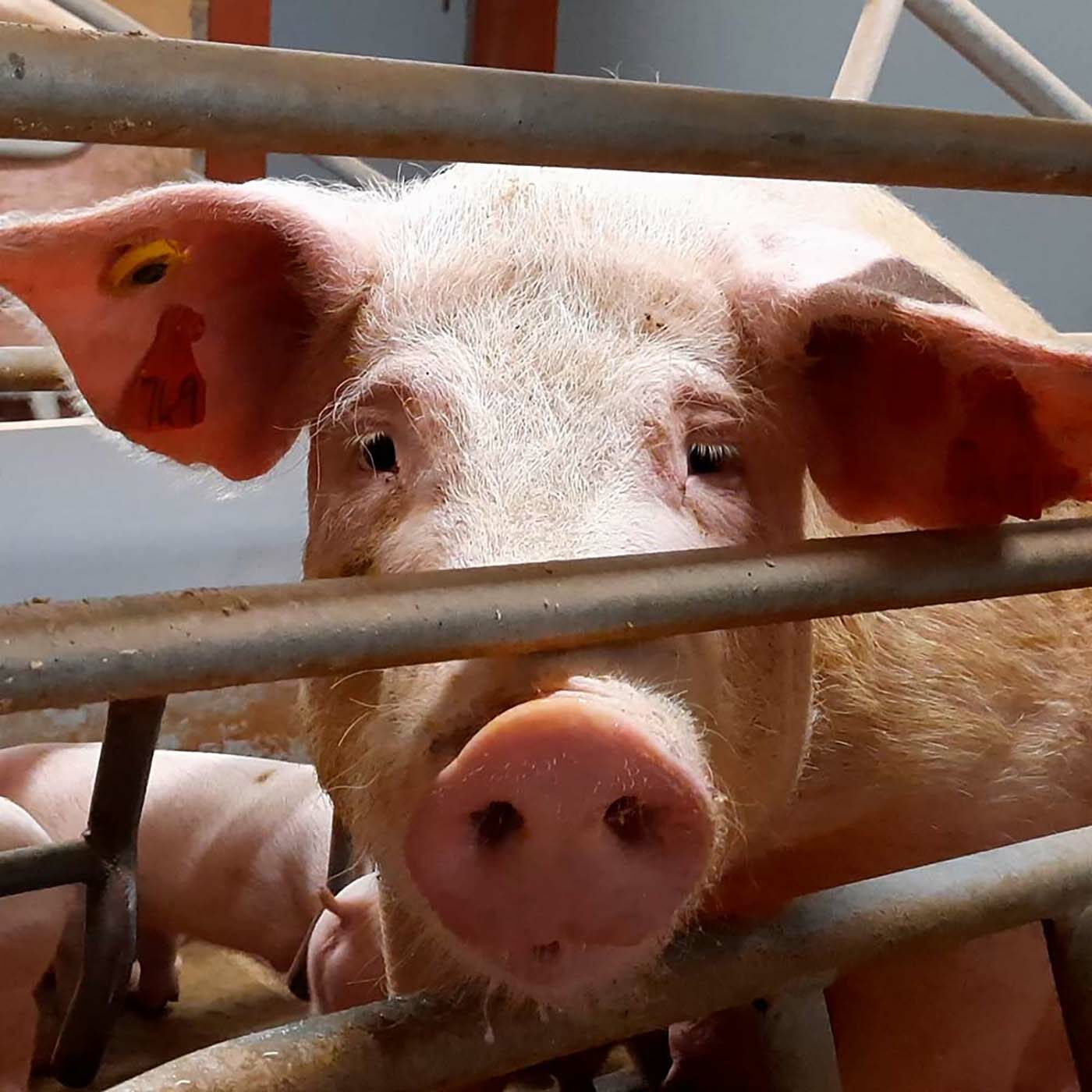 """Pigs Hammered to Death on """"High Welfare"""" UK Farm"""