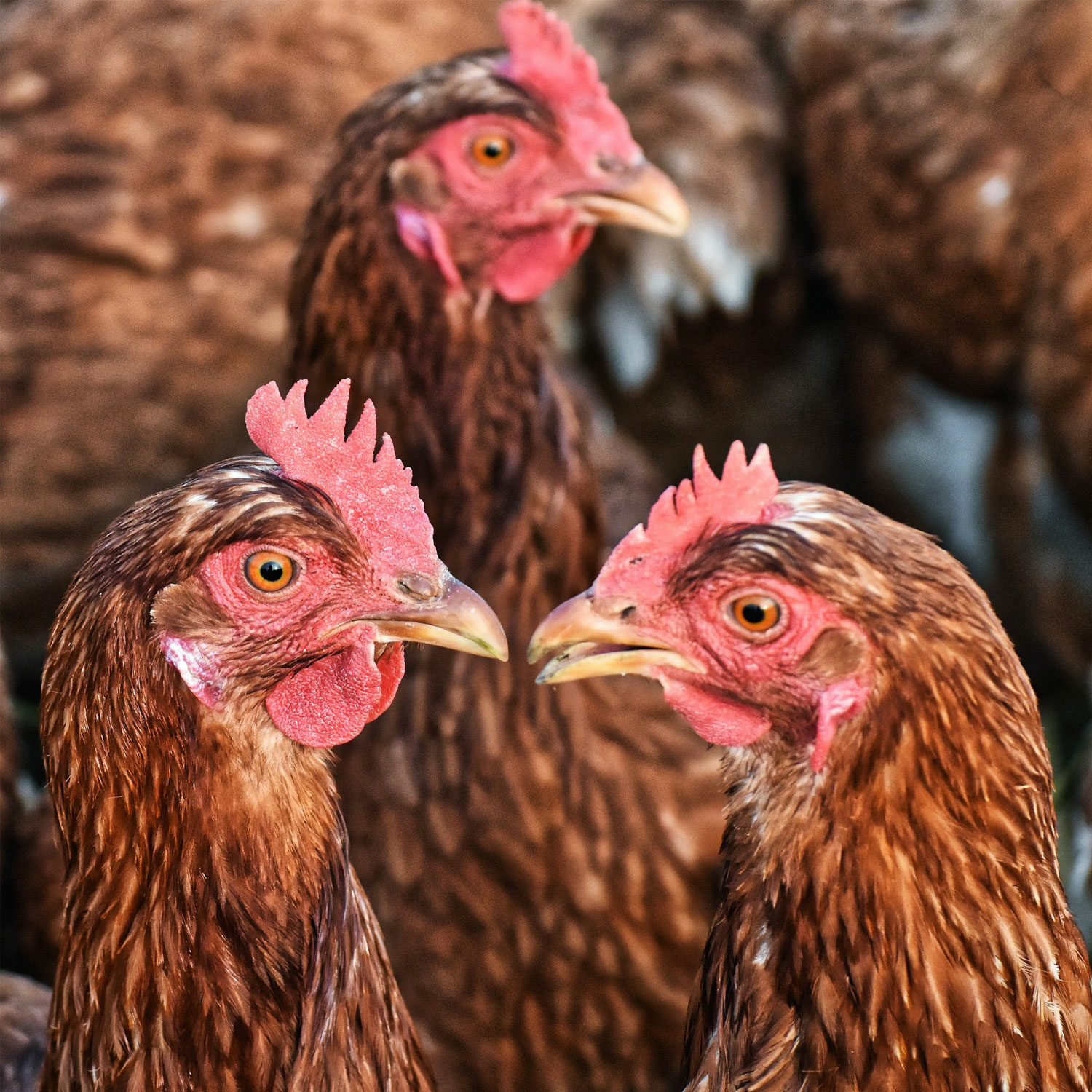 3 brown chickens