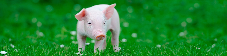 pink pig in sunlit grass