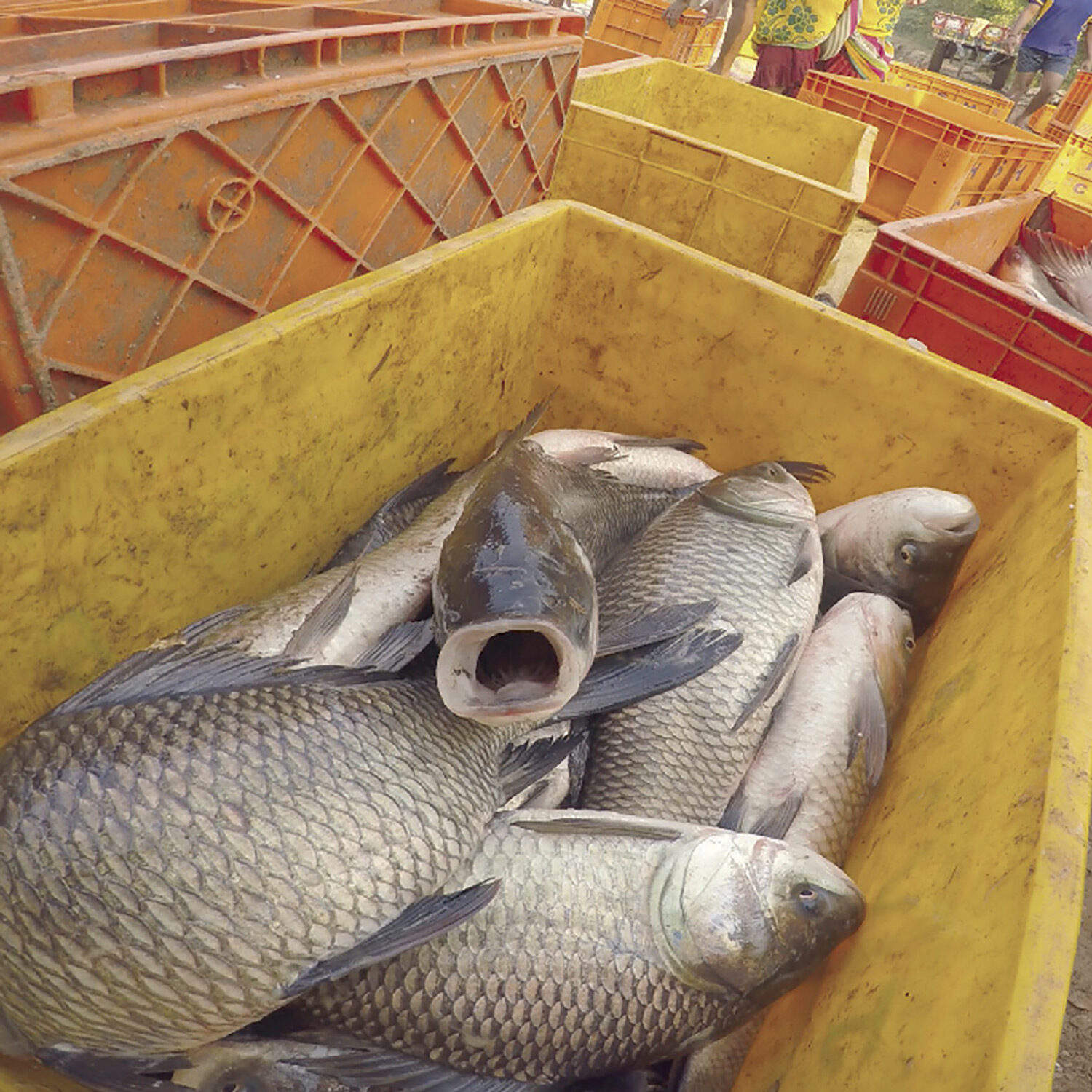 fish gasping for air in crates