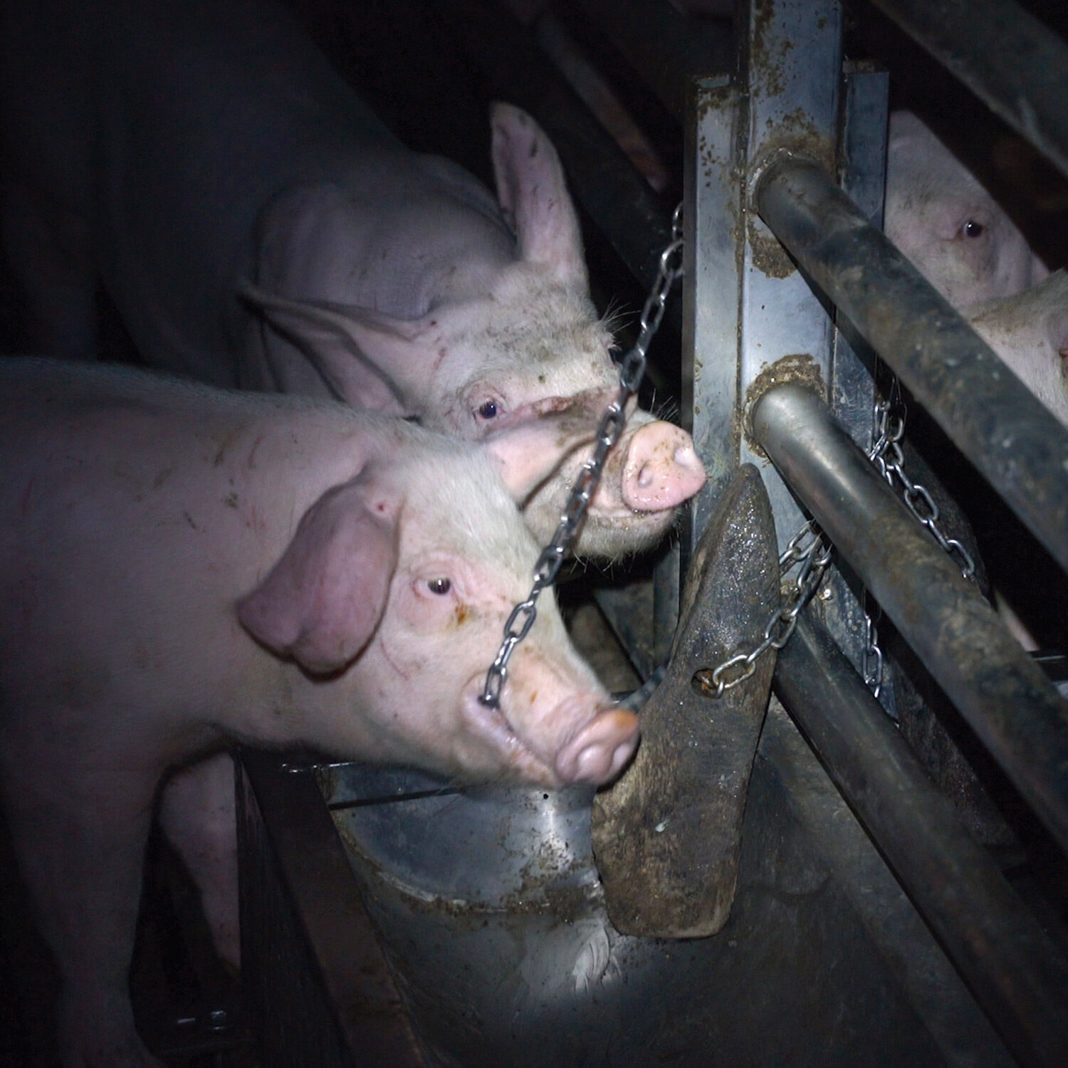 Pigs biting at their cage in a factory farm