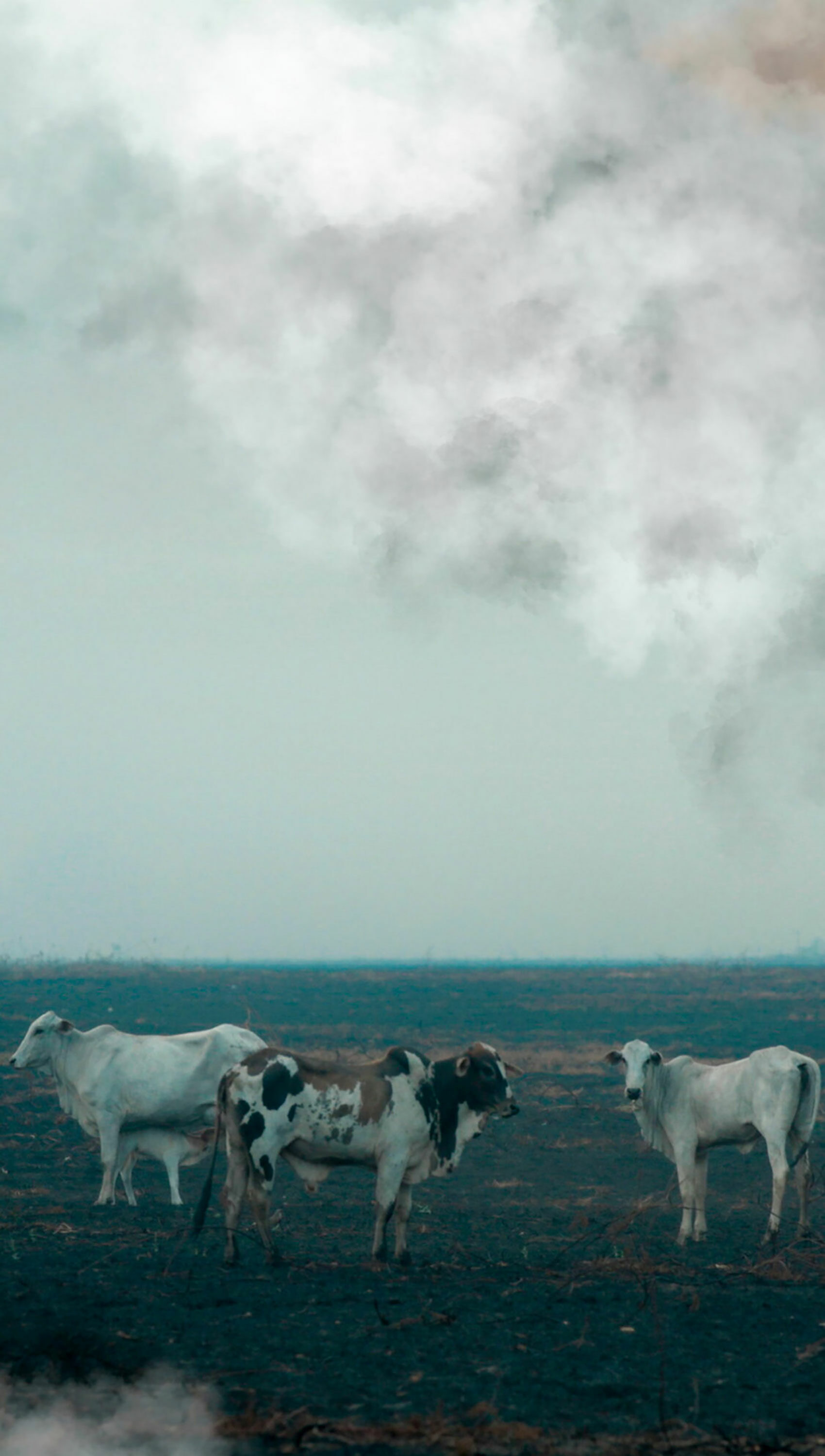 cows on burning deforested land in Brazil
