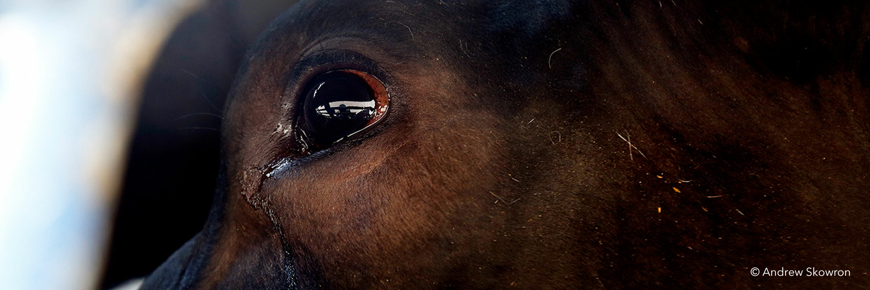 closeup of crying cow