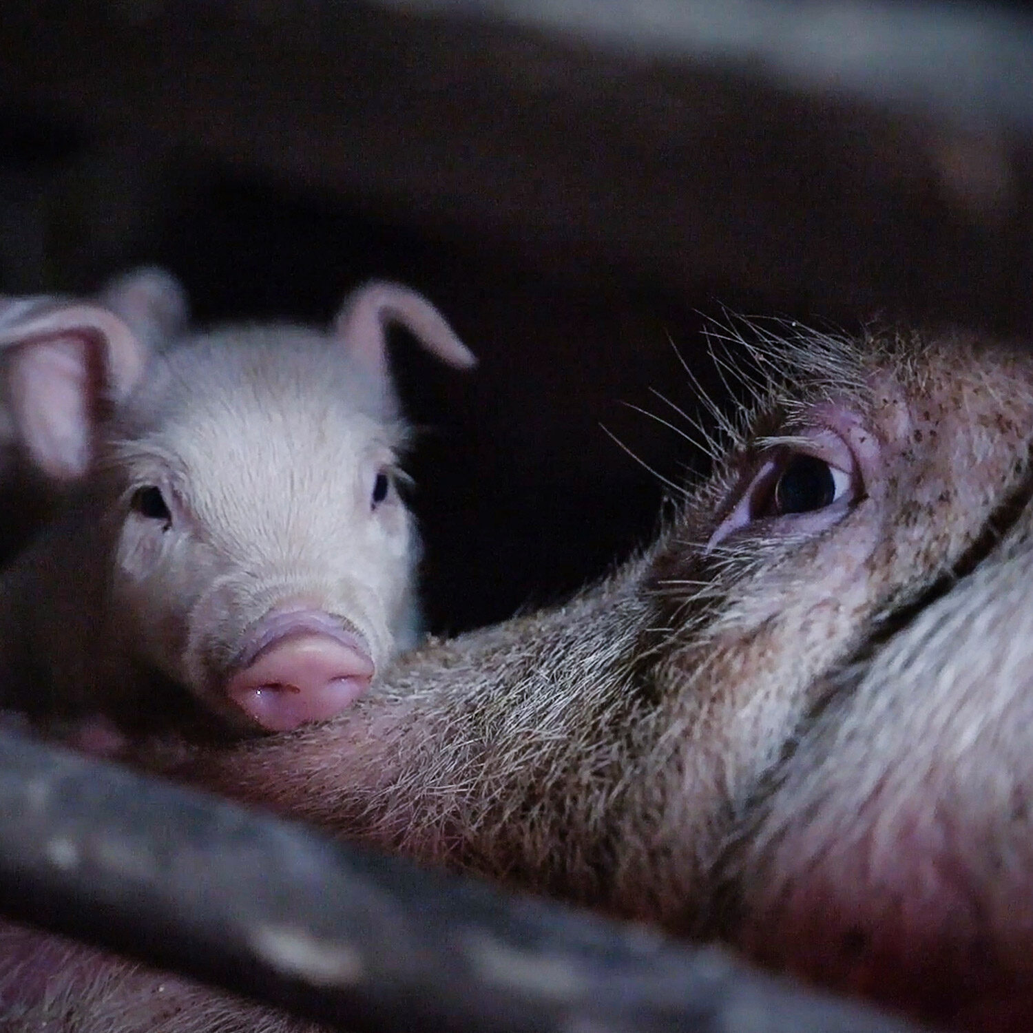 mother pig and piglet in gestation crate